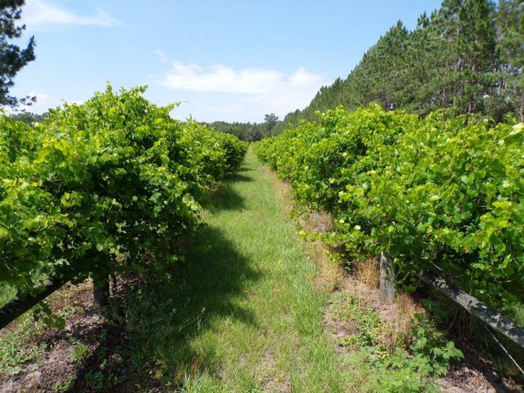 mitilini-vineyard-min